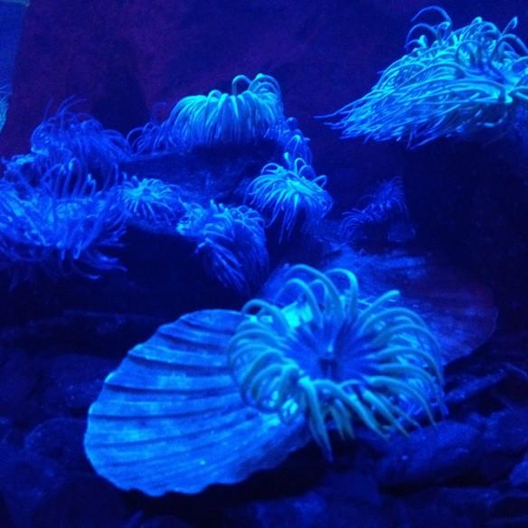 Blue sea anenomes